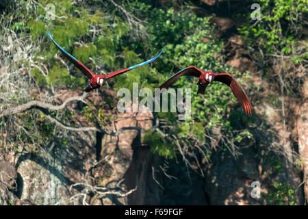 Pair of Red and green macaws fying in the Buraco das Araras sinkhole, Jardim, Mato Grosso do Sul, Brazil - Stock Photo