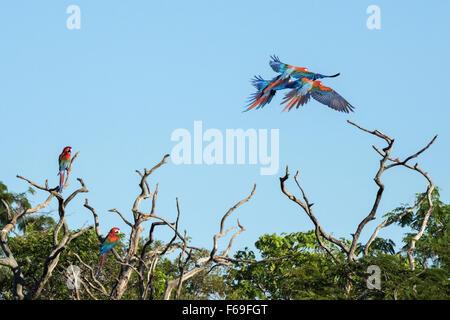 Wild red and green macaws, Buraco das Araras, Mato Grosso, Brazil - Stock Photo
