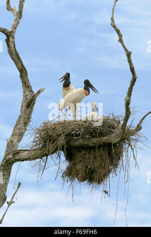 Pair of Jabiru storks with a chick on their nest, Transpantaneira Hwy, Pantanal, Brazil - Stock Photo