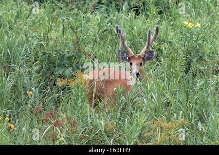 Marsh deer in velvet standing in the wildflowers, Transpantaneira Hwy, Pantanal, Brazil - Stock Photo