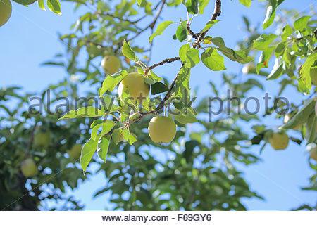 Apple tree bearing fruit. - Stock Photo