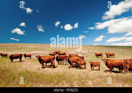 Red Angus cattle on open range in eastern Oregon - Stock Photo