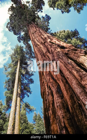 An old-growth sequoia tree soars into the sky nearby two younger offshoots in the Mariposa Grove of Giant Sequoias - Stock Photo