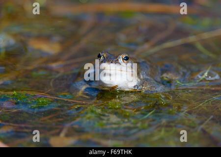Maennlicher Moorfrosch, Rana arvalis, Male Moor Frogs - Stock Photo