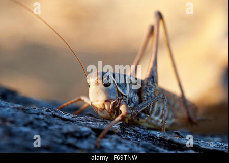 Blue-winged Grasshopper (Sphingonotus caerulans) - Greece - Stock Photo