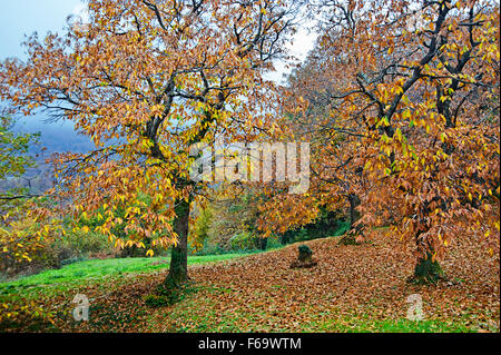 Sweet chestnut trees in autumn (Pelion Peninsula, Thessaly, Greece) - Stock Photo