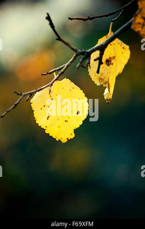 Two autumn leaves on tree - Stock Photo