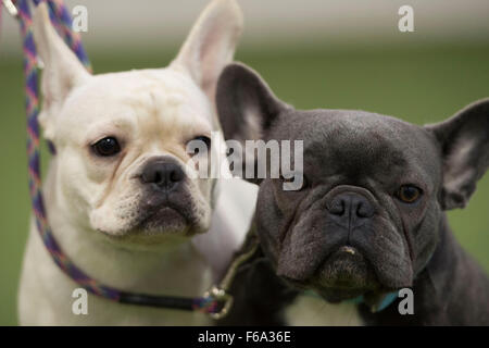 Pug dogs at a 'pugfest' event at Action Petz in Cardiff, South Wales. - Stock Photo