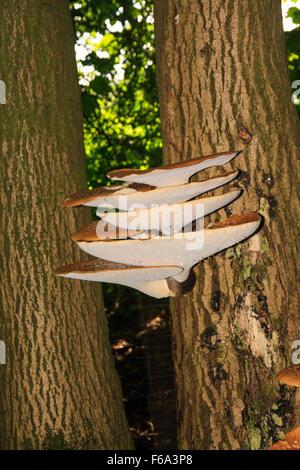 Dryad's saddle fungus - Stock Photo
