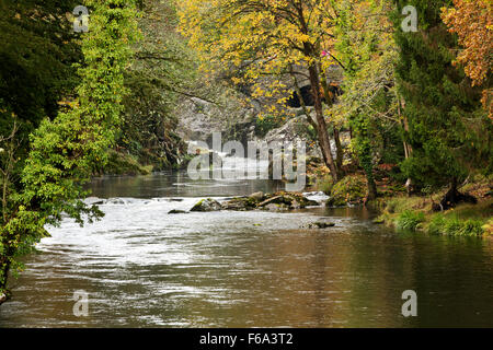 Autumn colour along the banks of the fast flowing Afon Llugwy near Betws-y-coed. Moss covered stones line the overgrown - Stock Photo