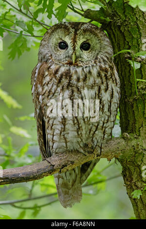 Tawny owl sitting on a branch /  Strix aluco - Stock Photo
