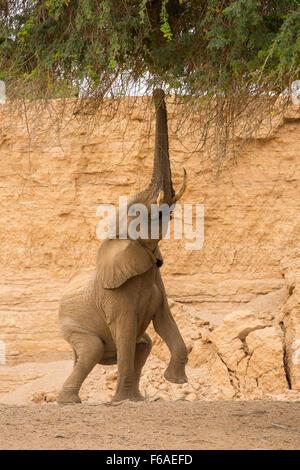 Elephant feeding from Acacia tree in Kaokoveld, Namibia, Africa - Stock Photo