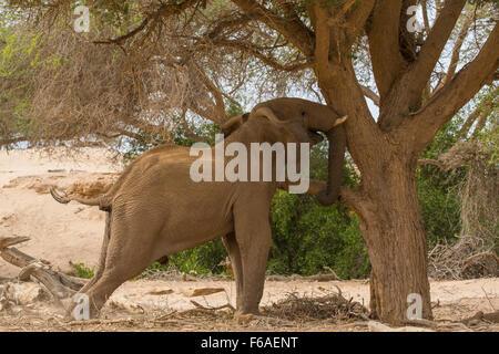 Elephant ramming Acacia tree in Kaokoveld, Namibia, Africa - Stock Photo