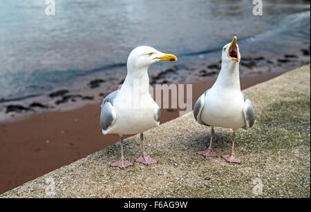 Herring Gulls Pair, one squawking loudly, at a beach in Paignton, Devon - Stock Photo