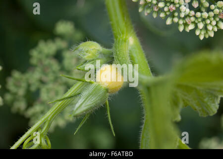 Winter Squash showing flower and baby squash - Stock Photo