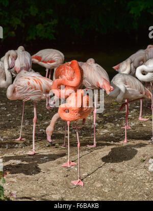 Greater flamingoes (Phoeniconaias roseus) at rest - Stock Photo