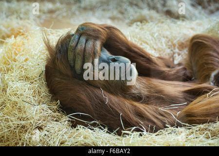 Sumatran orangutan (Pongo abelii) at rest - Stock Photo