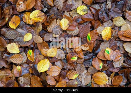 Fagus sylvatica. Fallen beech leaves in autumn. UK - Stock Photo