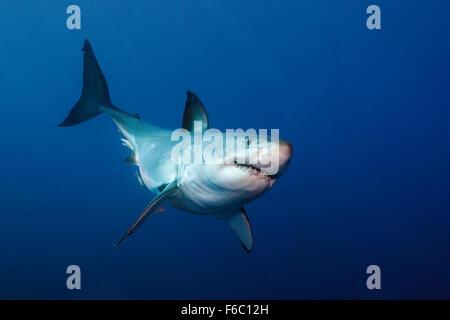 Great White Shark, Carcharodon carcharias, Neptune Islands, Australia - Stock Photo