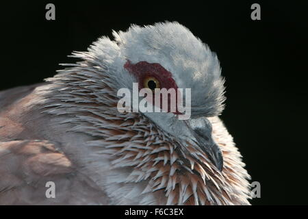 Sub Saharan African Speckled pigeon or African rock pigeon (Columba guinea), close up of the head - Stock Photo