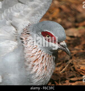Sub Saharan African Speckled pigeon or African rock pigeon (Columba guinea), one wing lifted - Stock Photo