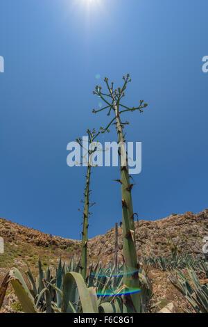 Agave, Agave americana, Century Plant - Stock Photo