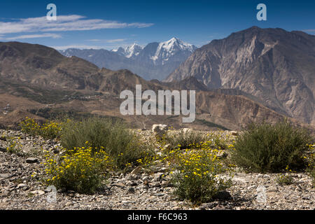 India, Himachal Pradesh, Yangthang, yellow high altitude Diverse Leaved Senecio wild flowers and snow capped mountains - Stock Photo