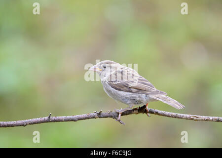 House Sparrow (Passer domesticus) adult, perched on twig, Haute Savoie, France - Stock Photo