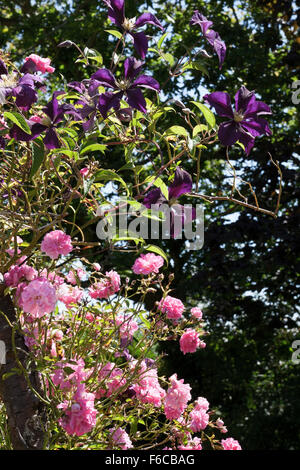 Clematis 'Etoile Violette' growing through Rosa (rose) 'Dorothy Perkins' - Stock Photo