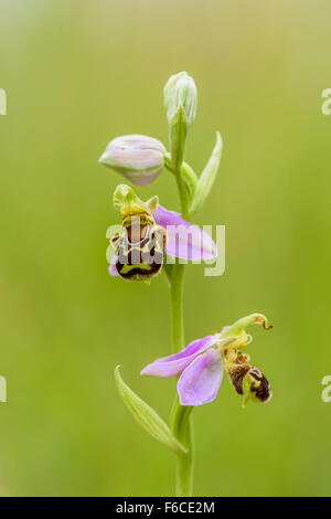 Bienen Ragwurz, Ophrys apifera, Bee Orchid - Stock Photo