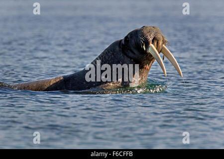Walrus swimming, Svalbard, Spitsbergen, Norway, Europe