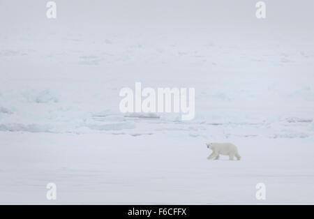 Eisbär im Nebel, Spitzbergen, Norwegen, Europa / Polar Bear with fog, Spitsbergen, Norway / EuropeUrsus maritimus - Stock Photo