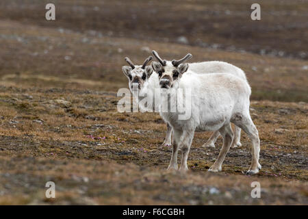 Svalbard Reindeer, Spitsbergen Island, Svalbard, Norway, Europe / Rangifer tarandus platyrhynchus - Stock Photo