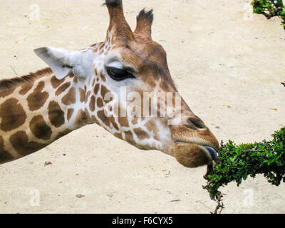 Close up of giraffe eating leaves - Stock Photo