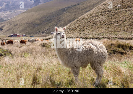 Portrait Of A Llama In Chimborazo National Park, South America - Stock Photo