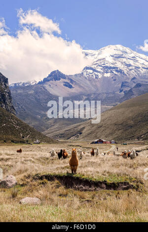 Herd Of Llamas, Chimborazo National Park, Ecuador, South America - Stock Photo