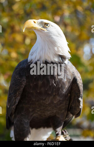 American Bald Eagle (Haliaeetus leucocephalus) Adult Details. Santa Clara County, California, USA. - Stock Photo