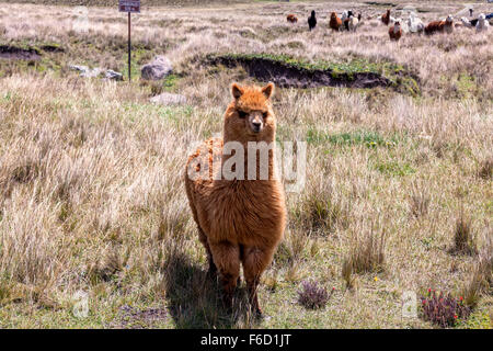 Small Herd Of Llamas Grazing In National Park Chimborazo, South America - Stock Photo