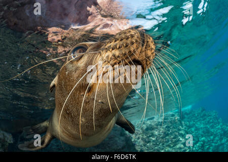 California Sea Lion, Zalophus californianus, La Paz, Baja California Sur, Mexico - Stock Photo