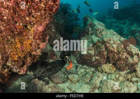 Brandts Cormorant captured Fish, Phalacrocorax penicillatus, La Paz, Baja California Sur, Mexico - Stock Photo