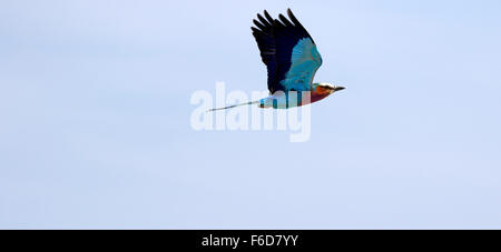 Panoramic picture of a brightly coloured bird flying, the Lilac-breasted Roller - Stock Photo