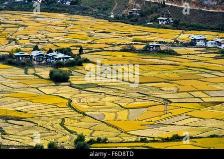 Ripe paddy fields in the valley of the Paro Chhu near Paro, Bhutan - Stock Photo