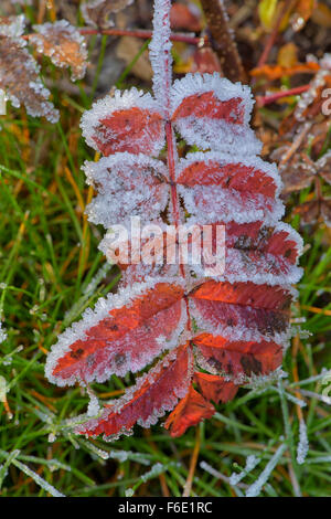 Rowan leaf (Sorbus aucuparia), covered with hoarfrost, Bohemian Forest, Czech Republic - Stock Photo