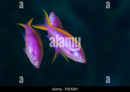 Purple Fairy Basslet, Pseudanthias tuka, Flores, Indonesia - Stock Photo