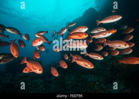 Shoal of Slender Pinjalo, Pinjalo lewisi, Waigeo, Raja Ampat, Indonesia - Stock Photo