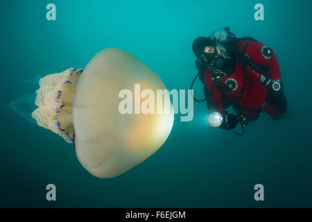 Rhizostome Jellyfish and Scuba Diver, Rhizostoma pulmo, Piran, Slovenia - Stock Photo