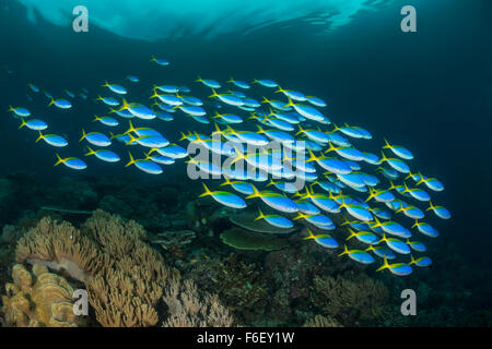Shaol of Yellowback Fusiliers, Caesio teres, Raja Ampat, Indonesia - Stock Photo