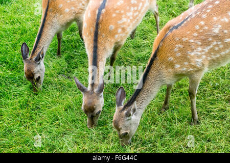 Sika Deer Hinds Close Together (Cervus nippon)  UK - Stock Photo