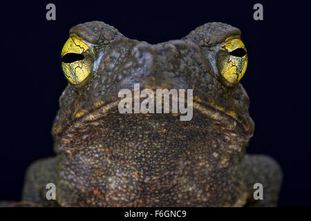 Giant river toad (Phrynoides aspera) Stock Photo