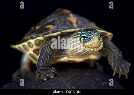 Chinese stripe-necked turtle (Mauremys sinensis) - Stock Photo